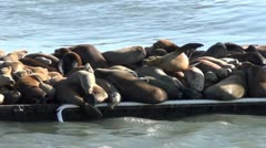 Elephant seals V4 Stock Footage