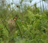 little bee-eater in green vegetation - stock photo