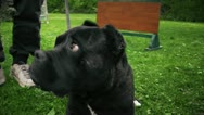 Stock Video Footage of Cane Corso