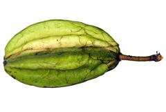 pod of a wild cocoa species from the amazon - stock photo