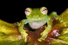 Glass frog from cloudforest in ecuador (espadarana prosoblepon) Stock Photos