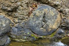 Petrified tree trunks weathering out of strata at a stream edge (genus arauca Stock Photos