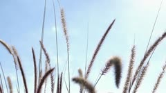 Wheat blowing in wind slow motion Stock Footage
