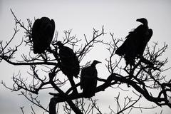 Vultures in a tree Stock Photos