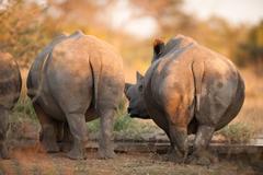 Rhino rear ends Stock Photos