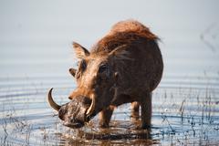 Brown hairy warthog Stock Photos