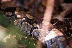 African rock python Stock Photos