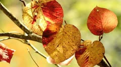 Autumn twig with foliage in the background. - stock footage