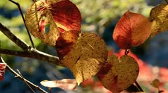 Autumn twig with mountain river in the background. - stock footage