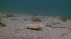 Scallop swimming Stock Footage
