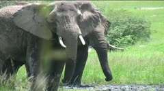 Elephants rumbling - stock footage