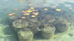 Water lily plant in water pond Stock Footage