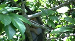 Dusky Leaf Monkey (Trachypithecus obscurus) with orange baby Stock Footage