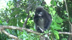 Dusky Leaf Monkey (Trachypithecus obscurus) eating leafs - stock footage
