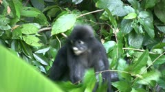Dusky Leaf Monkey (Trachypithecus obscurus) eating leafs Stock Footage