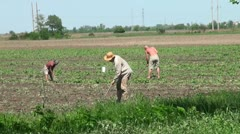 Group of people working in the field for the harvest Stock Footage