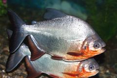 piranha - stock photo