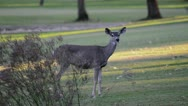 Stock Video Footage of three deer graze
