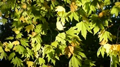 Autumn leaves under a sunny blue sky Stock Footage