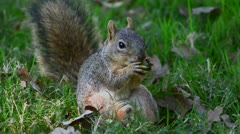 Squirrel gnaws nut Stock Footage