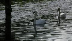 Swans in pond Stock Footage