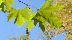 Autumn leaves under a sunny blue sky Stock Footage