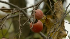 American Persimmon Stock Footage