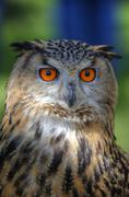superb close up of european eagle owl with bright orange eyes and excellent d - stock photo