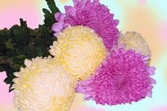 flowers of a chrysanthemum white-yellow - stock photo