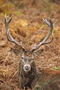 portrait of majestic red deer stag in autumn fall - stock photo