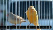 Canary at the exhibition 3 Stock Footage