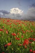 vibrant poppy fields under moody dramatic sky - stock photo
