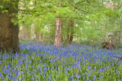 Bright fresh colorful spring bluebell wood with oil painting effect Stock Photos