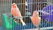 Canary at the exhibition 2 Stock Footage
