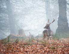 Fallow deer in foggy winter forest landscape Stock Photos
