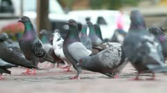 NYC Pigeons - stock footage