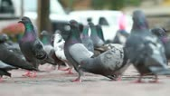 Stock Video Footage of NYC Pigeons