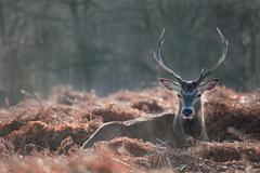 Stock Photo of red deer stag portrait in autumn fall winter forest landscape
