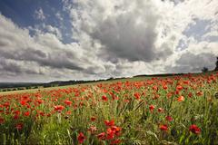 Poppy field in english countryside landscape Stock Photos