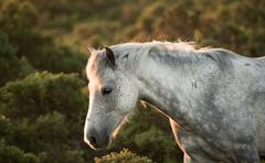 beauttiful close up of new forest pony horse bathed in fresh dawn sunlight - stock photo