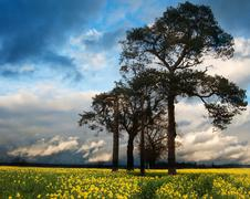 rapeseed field contryside landscape at sunset with dramatic sky - stock photo