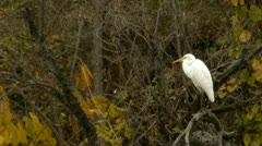 Great white Egret in forest Stock Footage