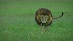 Male Lion walking towards camera - stock footage