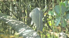 Great blue heron (Ardea herodias) Stock Footage