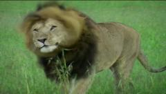 Male Lion walking towards camera Stock Footage
