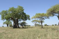scenery with baobab tree in africa - stock photo