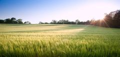 Beautiful field of fresh growth agrucultiral wheat Stock Photos