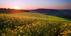sunrise landscape over rapeseed field in spring - stock photo