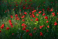 poppy field landscape in english countryside in summer - stock photo