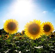 Sunflower  field under the sun Stock Photos
